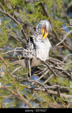 Southern Yellow-billed Hornbill Tockus leucomelas Preening Photographed in Kgalagadi National Park, South Africa - Stock Photo