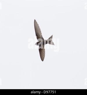 Common Swift Apus apus in flight June evening - Stock Photo