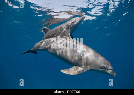 Two Indo-pacific bottlenose dolphins (Tursiops aduncus) swim close to the surface. - Stock Photo