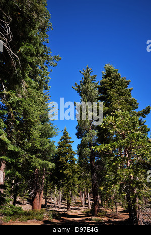 Conifers near  Lake Tahoe California - Stock Photo