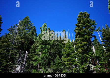 Conifers near  Lake Tahoe California - Stock Photo