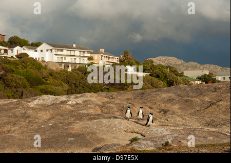 African penguins, Spheniscus demersus, Boulders Beach, Cape Peninsula, South Africa - Stock Photo