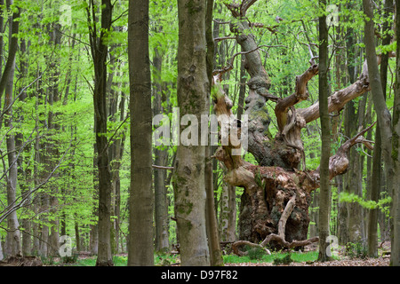 An ancient oak tree deep in a beech woodland at Savernake Forest, Marlborough, Wiltshire, England. Spring (May)