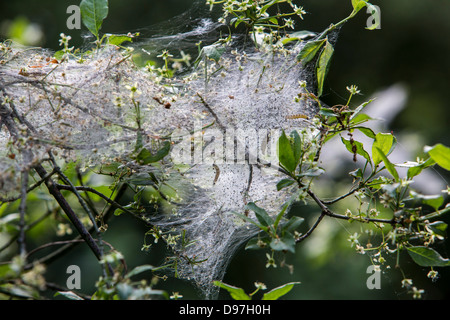 nest the oak processionary moth cocoon. Eggs and caterpillars in various stages of development to pupation. - Stock Photo