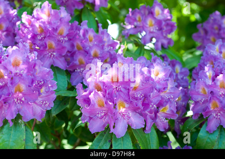 Rhododendron 'Purple Heart' - Stock Photo