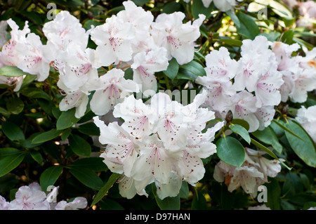 Rhododendron 'Mrs Charles E. Pearson' - Stock Photo