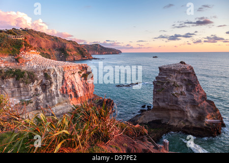 Muriwai Gannet Colony, Auckland, New Zealand. Please note motion blur on gannets in flight. - Stock Photo