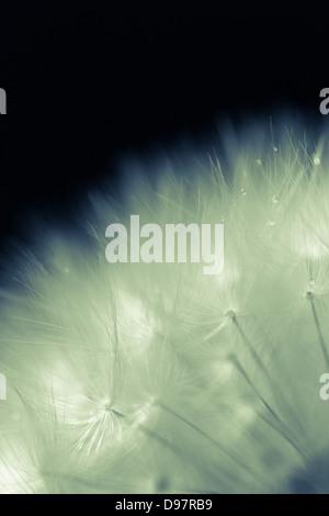 Dandelion against a a black background
