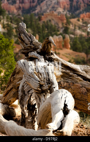 Detail of an old weathered tree in Bryce Canyon National Park - Stock Photo