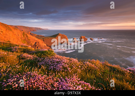 Flowering thrift on the clifftops above Hartland Quay, North Devon, England. Spring (May) 2013. - Stock Photo