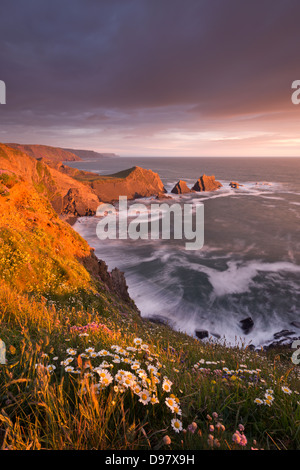Wildflowers growing on the cliff tops above Hartland Quay, looking south to Screda Point, Devon, England. Spring - Stock Photo