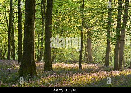 Bluebells flowering in a woodland, Exmoor National Park, Devon, England. - Stock Photo