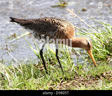 Black tailed Godwit (Limosa limosa) foraging in coastal wetlands in spring in the northern Netherlands - Stock Photo