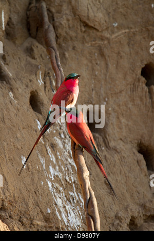Southern Carmine Bee Eaters on the Mwamba River, Kaingo Camp - Stock Photo