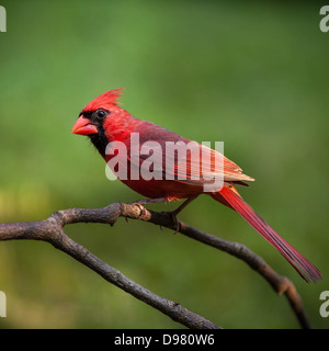 Male Northern Cardinal perched on a branch against a green background - Stock Photo