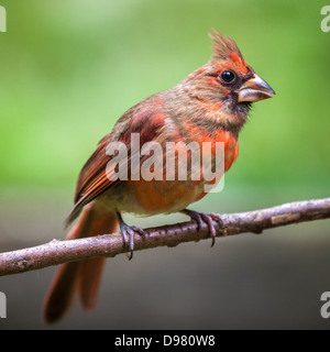 Female Northern Cardinal perched on a branch against a green background - Stock Photo