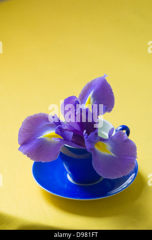 Portrait close-up shot of a purple and yellow Dutch Iris flower in a blue espresso cup on a yellow tabletop. - Stock Photo