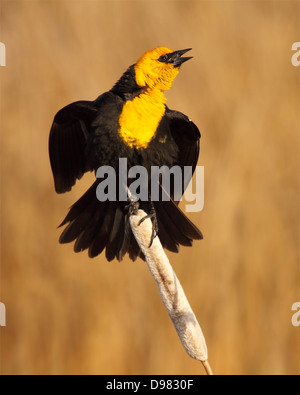 A Yellow-headed Blackbird belting out a song. - Stock Photo