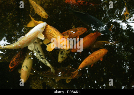 Different coloured koi swimming in a pond. - Stock Photo