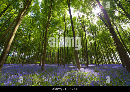Bluebells at Michedever Wood in Hampshire taken at ground level using an extreme wide angle lens and shot Contre - Stock Photo