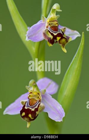 Bienenragwurz, Bienen-Ragwurz, Ophrys apifera, Bee Orchid - Stock Photo