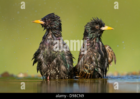 European Starling, Common Starling, Starling, Sturnus vulgaris, bird, Vogel, Star - Stock Photo