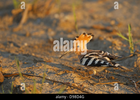 Wiedehopf, Hoopoe, Eurasian Hoopoe, Upupa epops - Stock Photo