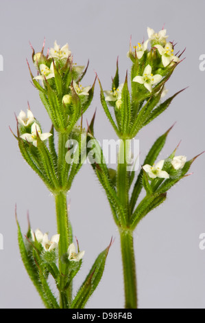 Small white flowers of cleavers or goosegrass, Galium aparine, with green leaves with hooked hairs which stick to - Stock Photo