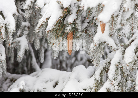 Close-up of the snow covered branches and pine cones of a Norway Spruce tree. - Stock Photo