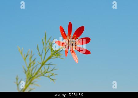 Summer pheasant's-eye (Adonis aestrivalis) Crimea, Ukraine, Eastern Europe - Stock Photo