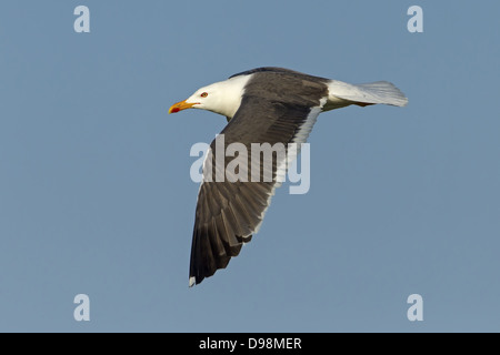 Lesser Black-backed Gull, Larus fuscus, Heringsmöwe, Heringsmoewe - Stock Photo