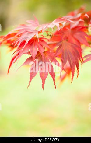 Acer palmatum 'Momiji Gawa', Japanese Maple, in autumn - Stock Photo