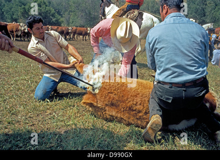 A hot branding iron burns a permanent ownership mark into the skin of a cow during a roundup on a cattle ranch in - Stock Photo