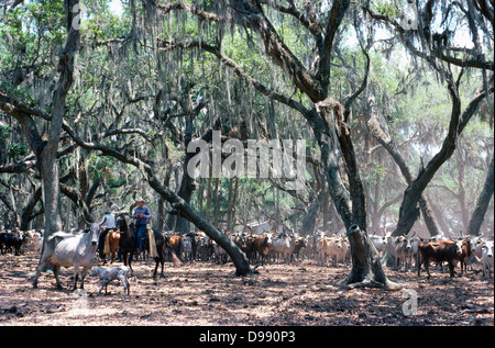 Cowboys round up range cattle that have sought shade under mossy trees on a ranch near Kissimmee, a center for the - Stock Photo