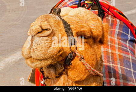 Camel waiting for a tourist on the road at the entrance to Masada National Park, Israel - Stock Photo