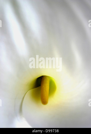 Close-up of an Arum Lily. Zantedeschia aethiopica (common names Lily of the Nile, Calla lily, Easter lily, Arum - Stock Photo