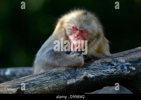 Japanese snowy monkeys Macaca fuscata monkey - Stock Photo