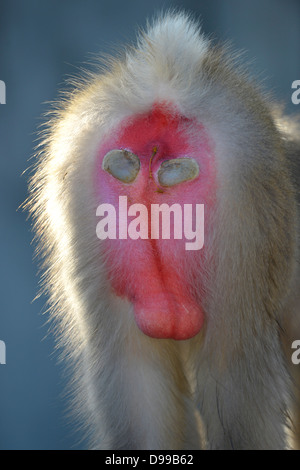 Japanese snowy monkeys (Macaca fuscata), back, testicles, little man ripe for gender, occurence Japan, captive, - Stock Photo