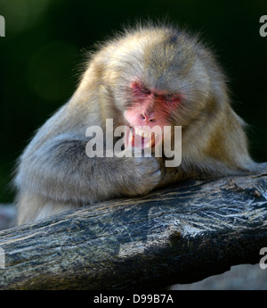 Rotgesichtsmakaken, also Japanmakaken or Japanese snowy monkeys Macaca fuscata - Stock Photo