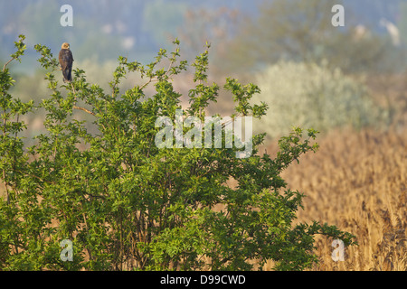 Western Marsh Harrier, Marsh Harrier, Eurasian Marsh Harrier, Western Marsh-Harrier, Circus aeruginosus, Rohrweihe - Stock Photo