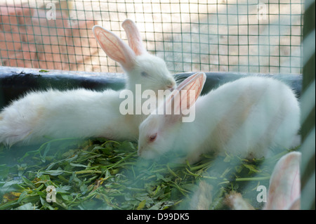 Rabbits in a cage - Stock Photo