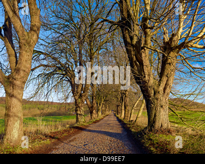 Avenue of chestnut trees to Sellin, Ruegen Island, Mecklenburg-Western Pomerania, Germany - Stock Photo