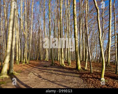 Beech forest in the Jasmund National Park, Ruegen Island, Mecklenburg-Western Pomerania, Germany - Stock Photo