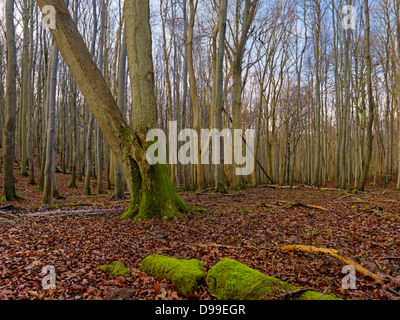 Beech forest in the Jasmund National Park, Ruegen Island, Mecklenburg-Western Pomerania, Germany - Stock Photo