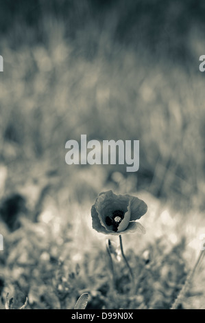 Black and White (Monochrome) closeup of a red poppy against green grass in Tuscany, Italy - Stock Photo