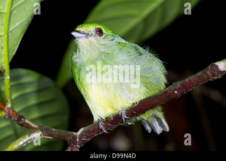 Unidentified green bird roosting at night in the rainforest understory - Stock Photo