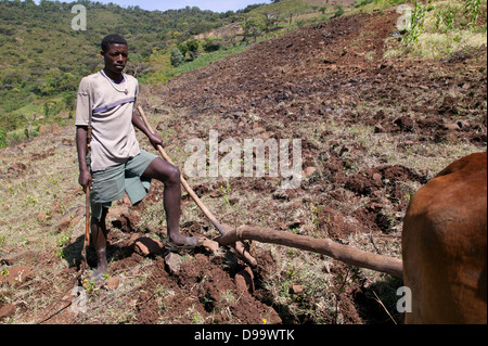 A man is tilling the soil for planting with oxen in Ethiopia. - Stock Photo