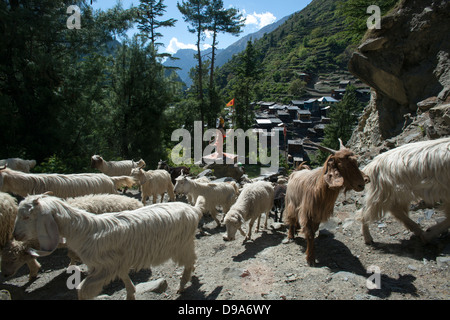 A flock of goats makes its way to the high pastures of the Himalayan Budhil valley in Himachal Pradesh, India - Stock Photo