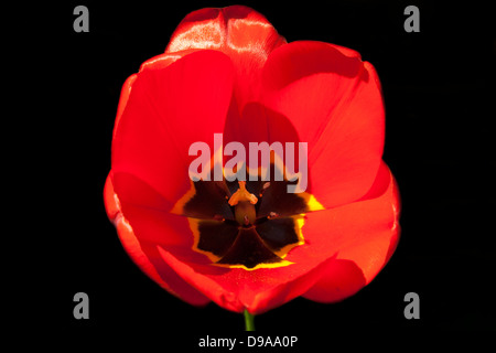 Closeup of a colourful and vibrant Red Tulip showing its pollen and lovely yellow and brown centre petals - Stock Photo