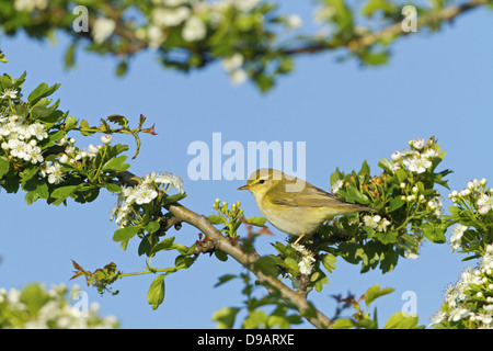 Fitis, Willow Warbler, Phylloscopus trochilus, Pouillot fitis, Mosquitero Musical - Stock Photo